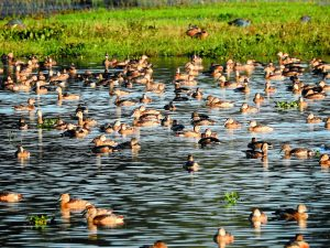 Kaziranga records 96 species of wetland birds